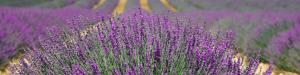 Südfrankreich: Lavendelfeld